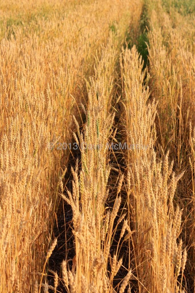 Crops - Leslie, SK