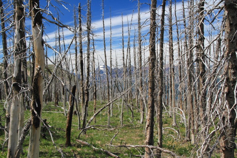 A Burned Forest on Divide Mountain