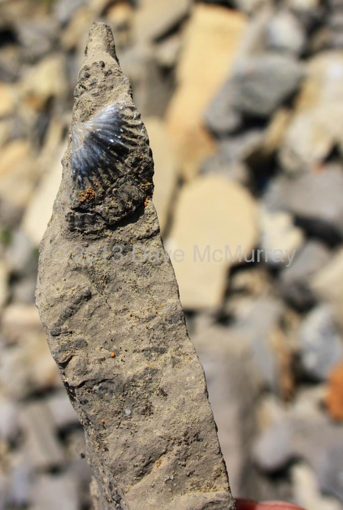Mount Livingstone Fossil
